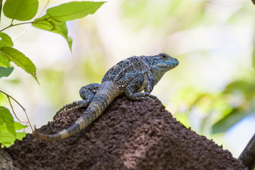 Spiny tailed iguana on a termite mound in the Carara National Park in Costa Rica