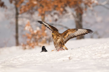 Beautiful common buzzard with open wings landing in the snow.