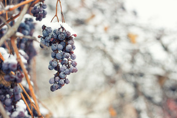 Whales of grapes under snow in winter. Grapes are covered with snow