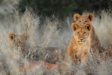 Lion (Panthera leo) cubs. Kalahari, South Africa Wall mural