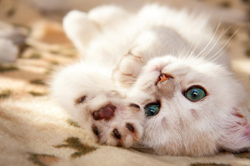 A small white British kitten lies upside down with his foot forward