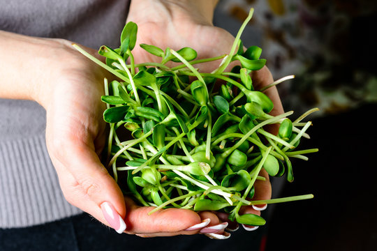 microgreen sunflower sprouts in female hands for healthy eating