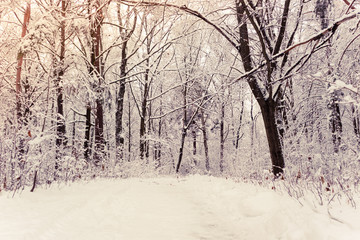 Winter forest. Winter landscape with frosty trees in snowy forest. New Year winter fairytale
