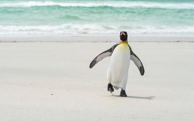 King pinguin walking at the beach