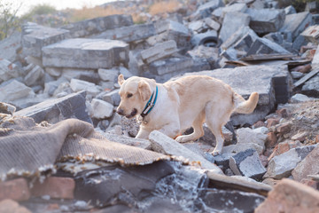 Dog looking for injured people in ruins after earthquake.