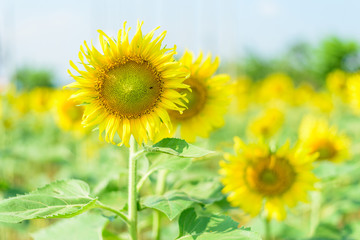 Fresh sunflower with blue sky in sunshine day