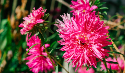 asters in the garden,spring tenderness mother's day