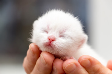 The head of a small newborn white kitten with a pink nose and eyes that did not open after birth, the muzzle of a newborn white british kitten close-up.