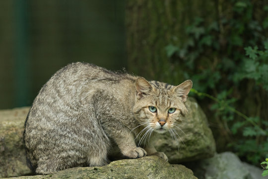 European wildcat on a tree
