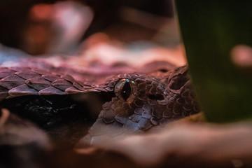 Gaboon viper eye