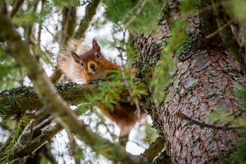 Scotland, red squirrel, Sciurus vulgaris