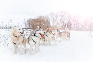 Huskies are among the snowy roads during snowfall
