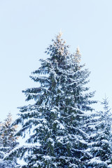 green spruce with snow on the branches