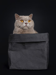 Handsome senior cinnamon British Shorthair cat sitting in black paper bag. Looking up beside lens with wise orange eyes. Isolated on black background. Tail hanging down from edge.