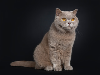 Handsome senior cinnamon British Shorthair cat sitting side ways. Looking straight ahead beside lens with wise orange eyes. Isolated on black background.