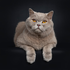 Handsome senior cinnamon British Shorthair cat laying down. Looking up beside lens with wise orange eyes. Isolated on black background. Front paws hanging down from edge.