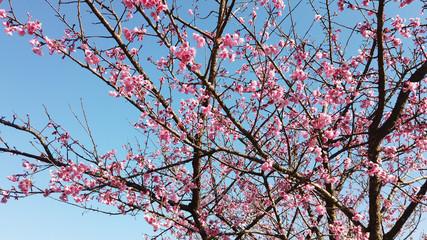 Wall Mural - Sakura flower tree or Cherry Blosoom tree on blue sky background.