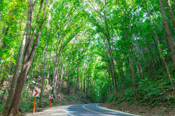 Road in the forest. The Bohol Man-Made is a mahogany forest stretching in a 2 km stretch of densely planted with Mahogany trees. Philippines.