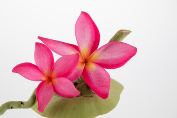 Frangipani flowers arrangment on coconut shell