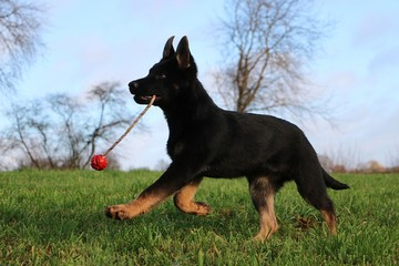 funny black german shepherd puppy is playing with a ball in the garden
