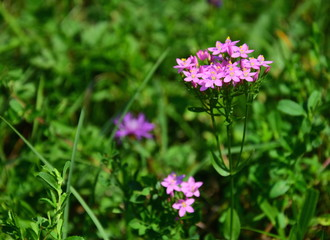 Centaurium erythraea is a species of flowering plant in the gentian family known by the common names common centaury and European centaury. Horizontal photo.