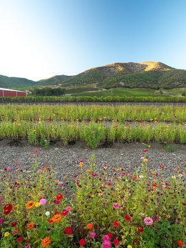 Lush winery and vineyard in Ashland, Oregon. Oregon made wine.