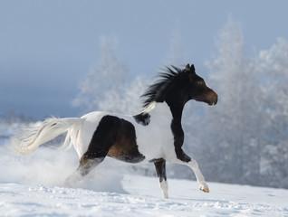 Fototapete - Paint horse galloping across winter snowy meadow.