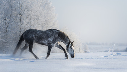Wall Mural - Spanish gray horse walks on freedom at winter time.