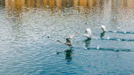 Swans are starting to fly in Maribor, Slovenia