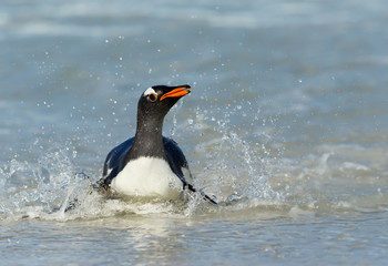 Gentoo penguin splashing in water while diving