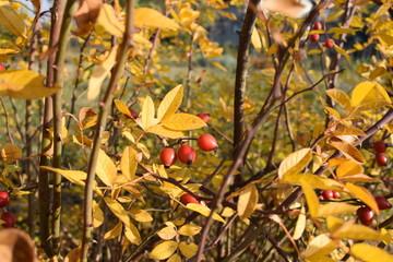 Fototapeta premium Dzika róża jesienią
