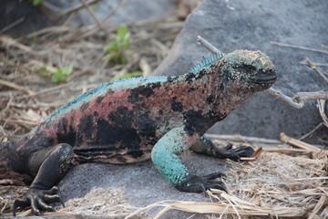 Galápagos Islands marine iguana