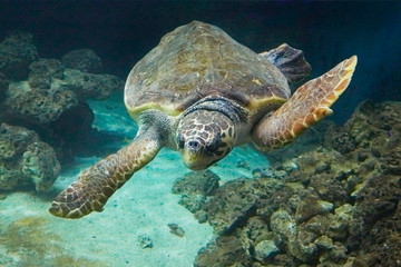 Beautiful sea turtle on the reef.