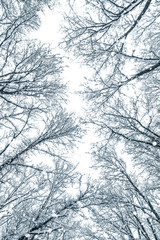 Snow covered top trees ,Winter trees crown.