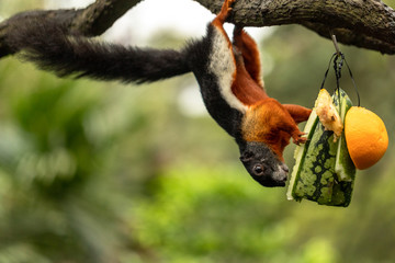 Prevost squirrel hanging upside down, eating water melon