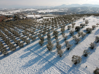 Aerial view of Olive Trees in snow winter season panorama