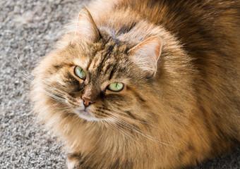 Fluffy pet of livestock, siberian purebred cat with long hair. Cute domestic kitten