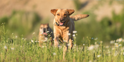 Labrador Redriver dog and Bulldog. Dog is running over a blooming beautiful colorful meadow