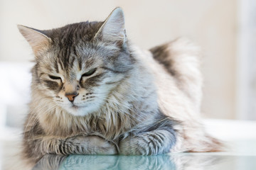 Beautiful pet of livestock, siberian purebred cat with long hair. Cute domestic kitten in relax. Silver female gender