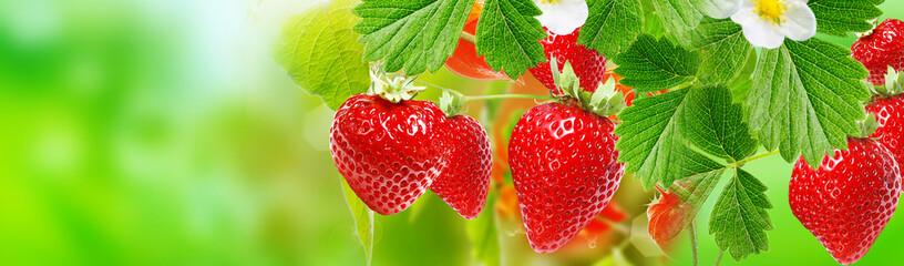 harvest garden strawberry