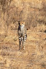 Cheetah roaming the plains on the Masai Mara, Kenya, Africa