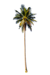 Isolated coconut Trees on white background. Diversity of trees.