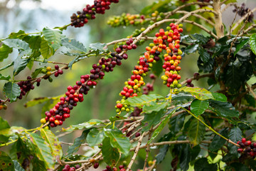 Coffee plant with seeds.