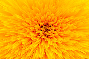 Close up sunflower petal background texture. Macro of sunflower blooming texture Fototapete