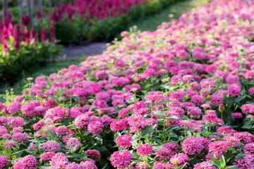 Printed roller blinds Lilac Pink flower on plantation.