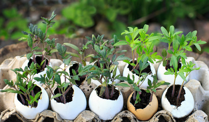 Seedlings of tomatoes in the eggshell. Plant breeding in eggshells.