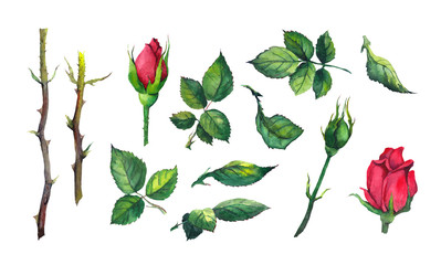 Set of leaves, buds, stems of red rose flower. Watercolor botanical illustration