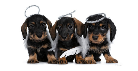 Row of three black with brown adorable wirehair mini Dachshund dog puppies, wearing angel costumes from white wings and silver halo. Looking naughty at camera with shiny dark eyes. Isolated on white.