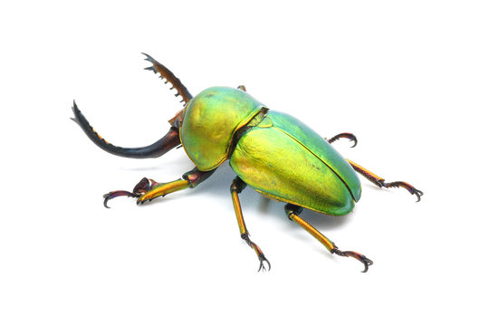 Beetle : Lamprima adolphinae or Sawtooth beetle is a species of stag beetle in Lucanidae family found on New Guinea and Papua. Metallic green beetle, isolated on white background.