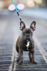 Poster Bouledogue français French bulldog puppy on a sidewalk
